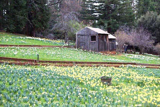 daffodil-hill-volcano
