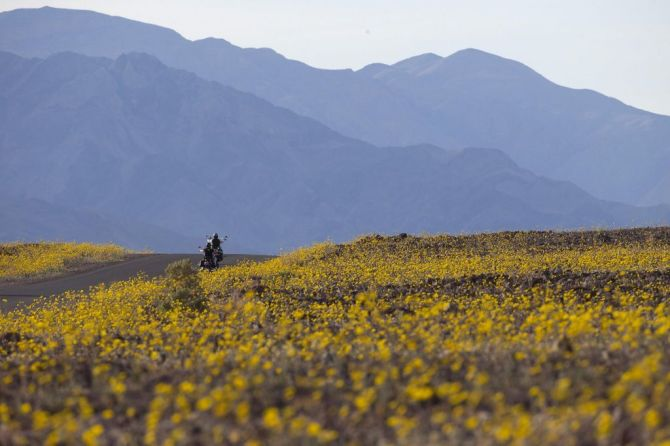 death_valley_wildflowers