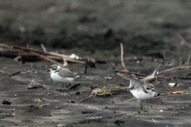 snowy_plovers_ocean_beach